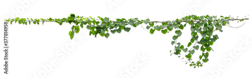 Fotografia ivy plant hanging on electric wire isolate on white background