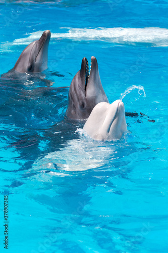 Fotografiet dolphins and  white beluga whale in clear blue water.