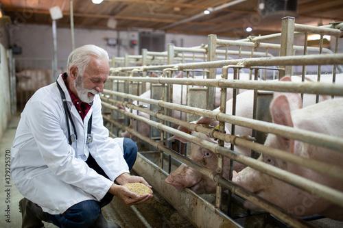 Fotografie, Obraz Veterinarian feeding  pigs from hands