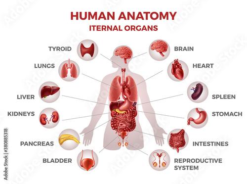 Obraz na plátně Human internal organs
