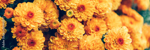 Fotografering Close up of bouquet of orange chrysanthemum flowers in pot in garden, background