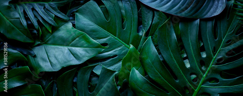 Photo closeup nature view of tropical green monstera leaf background