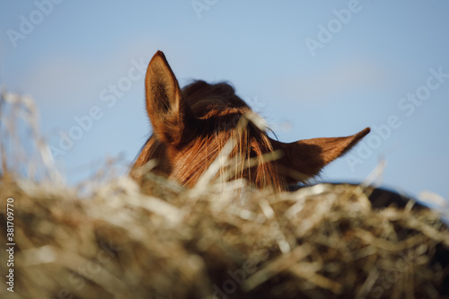 Vászonkép portrait of chestnut horse eating hay from feeder in horse paddock in autumn in
