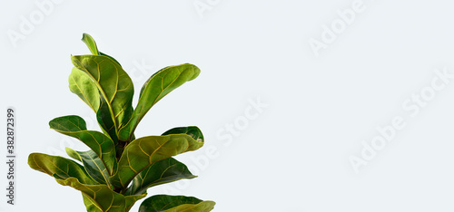 Photo A Fiddle Leaf Fig or Ficus lyrata with large, green, shiny leaves planted isolated on yellow background