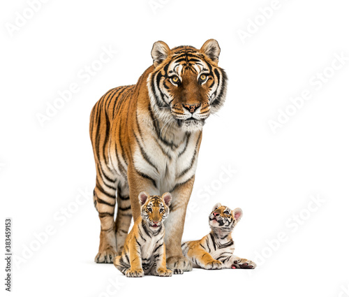 Fotografie, Obraz Tiger and her cubs standing in front, white background