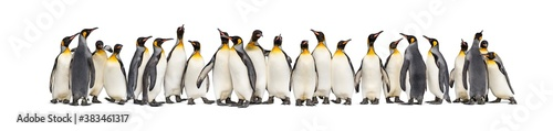 Photographie Colony of king penguins together, isolated on white