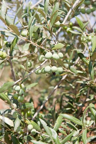 olive plants in summer on olive plantation