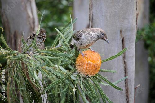 Little Wattlebird fledgling (Anthochaera chrysoptera) in Acorn Banksia, South Au Fototapete