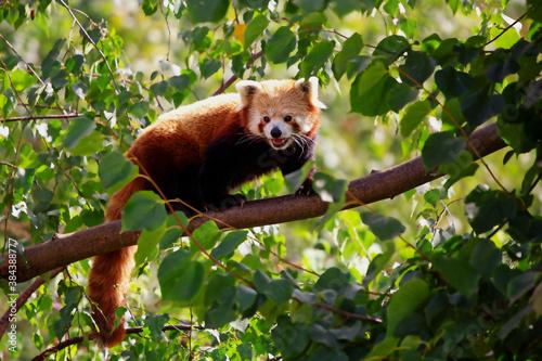 Fotografia Adorable endangered red panda walking on branch