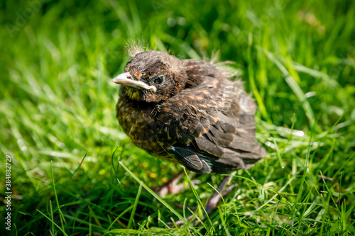 Foto A fledgling blackbird chick in grass in the sun with open eyes