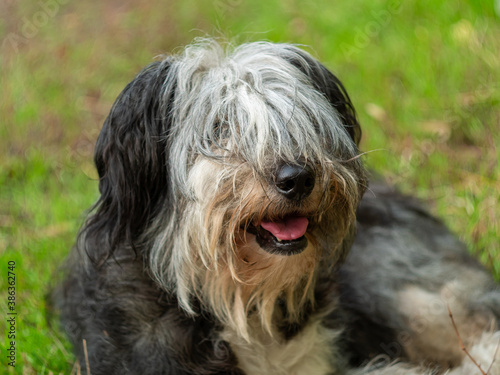 Photo Polish Lowland Sheepdog sitting on green grass and showing pink tongue