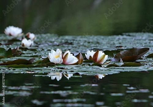 Canvas Print Water lilies