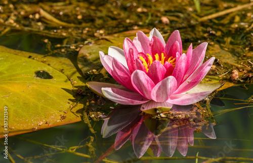 Obraz na płótnie water lily, water rose or white nenuphar (Nymphaea alba) flower