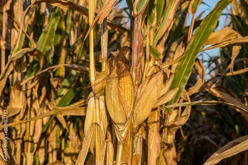 Closeup of ear of corn on brown cornstalk ready for harvest Fototapeta