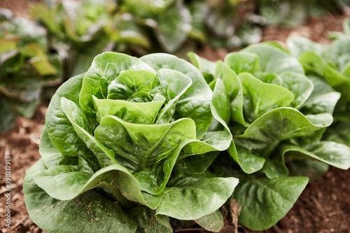 Obraz na plátne Closeup of lettuce
