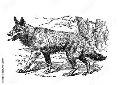 Fotomural Vintage Wolf hand drawn / Antique engraved illustration from from La Rousse XX S