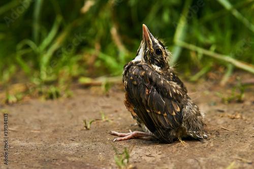 fledgling robin sitting on a path Fototapete