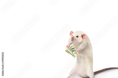 Fotografia, Obraz funny rat counts dollars in his hand on a white background