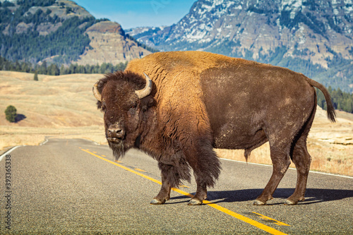 Leinwand Poster American bison standing alone in the middle of the road at Yellowstone park with mountain  in backgorund