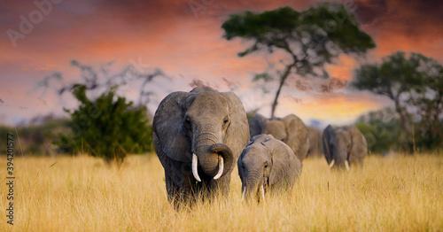 Fotografie, Obraz A herd of wild elephants walk through the savanna of Tarangire National Park in