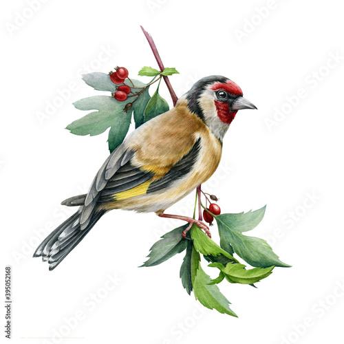 Carta da parati Goldfinch bird on a hawthorn branch illustration