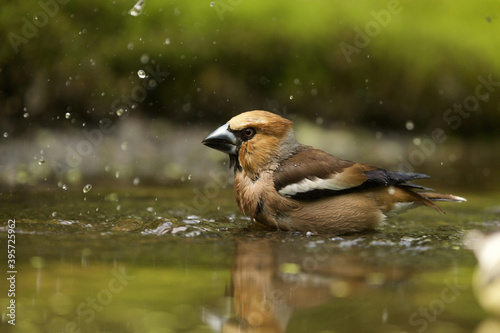 Closeup shot of a hawfinch in the water on blurred background Fototapeta