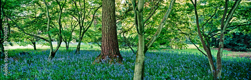 ACER GLADE WITH DISPLAY OF BLUEBELLS UNDER THE TREES