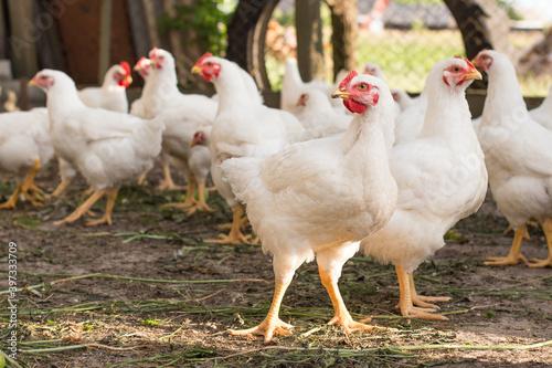 Stampa su Tela Free range farm young chicken broiler