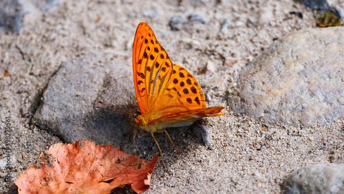 Fototapeta premium Dostojka malinowiec, perłowiec malinowiec (Argynnis paphia) gatunek motyla dziennego z rodziny rusałkowatych