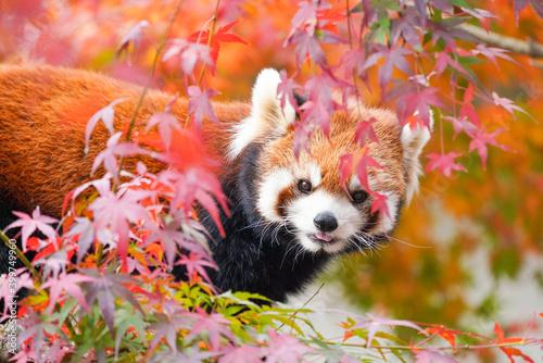 Obraz na płótnie red panda in the autumn forest