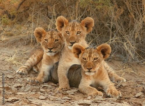 Fototapeta three lion cubs