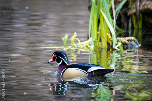 Valokuva male wood duck on the water