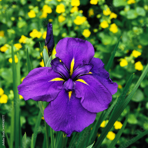Japanese Iris ensata 'Velvety Queen' in a bog garden