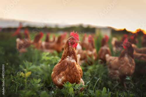 happy free range chicken in the meadow Poster Mural XXL