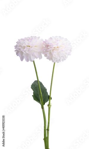 dahlia flowers isolated