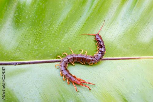 A centipede can bite Fototapeta