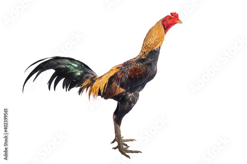Canvas Print Fighting cock native in Thailand isolated on white background