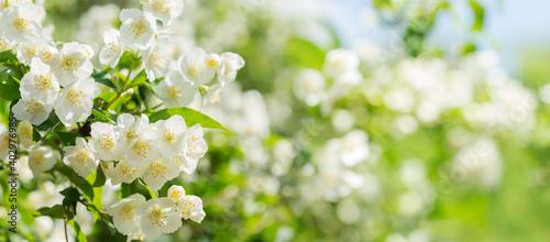 Photo jasmine flowers in a garden