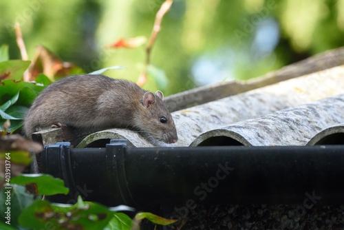 Obraz na plátně Close-up Of Rat On Roof