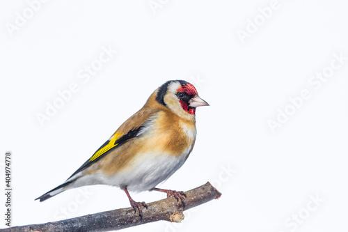 Fotografia European Goldfinch , Carduelis carduelis, against white background