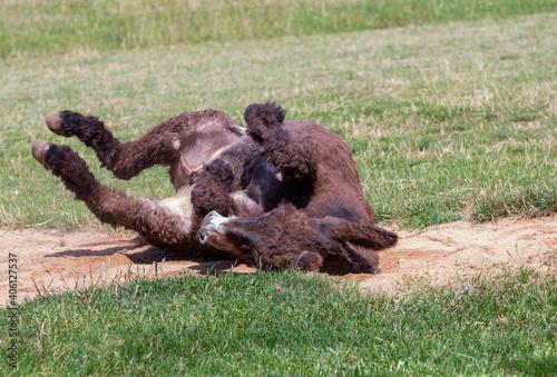 Photo donkey rolling on the ground