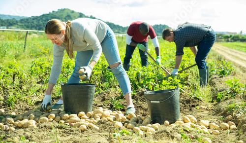 Fotografija Group of people gathering crop of early potatoes on farm field