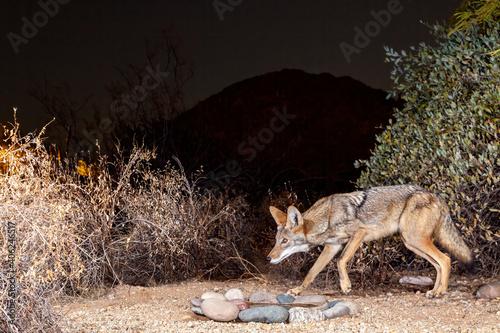Vászonkép Coyote Portrait