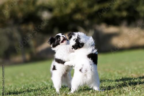 Obraz na plátně japanese chin puppy playing