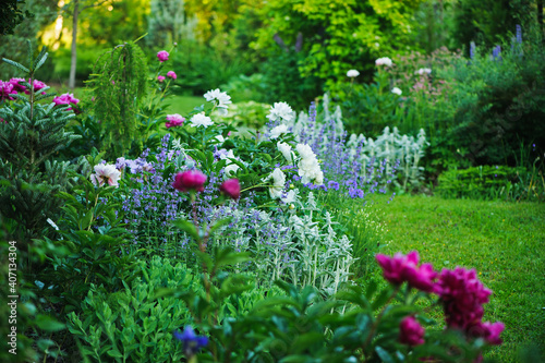 Fotografija beautiful english style cottage garden view in summer with blooming peonies and companions - stachys, catnip, heranium, iris sibirica