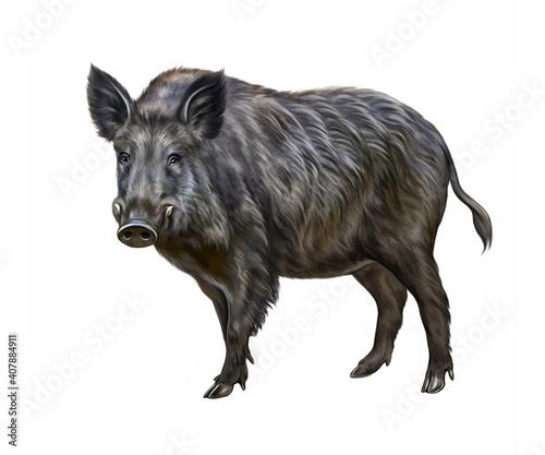 Obraz na płótnie The wild boar (Sus scrofa)