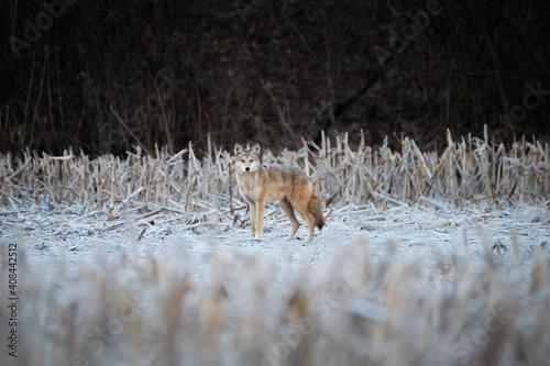 Vászonkép Coyote in the snow