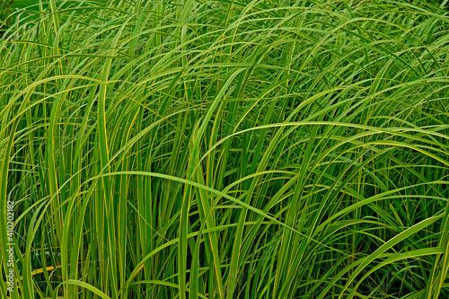 Vászonkép Close up of ornamental grass Carex dolichostachya 'Kaga-nishiki' 'Golden Fountai