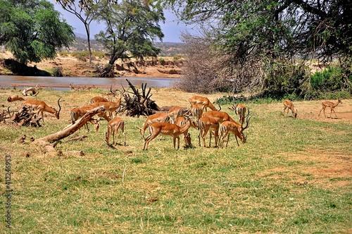 Stado antylop impala (Aepyceros melampus). Rezerwat Samburu (Kenia)