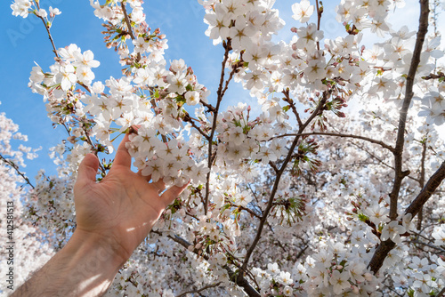 Fotografía Cropped Hand Touching Cherry Blossoms In Spring